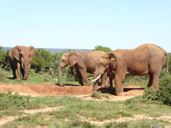 Dungbeetle River Lodge : Amazing Addo, go for a trip with Dungbeetle Tours