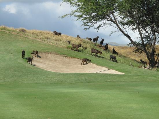 Mauna Kea Resort Golf Course: local wildlife, pretty cool