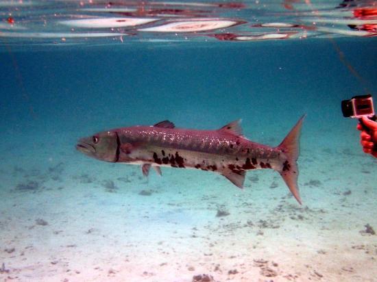 Arch's Iguana  and Marine Park: Frank, the barracuda