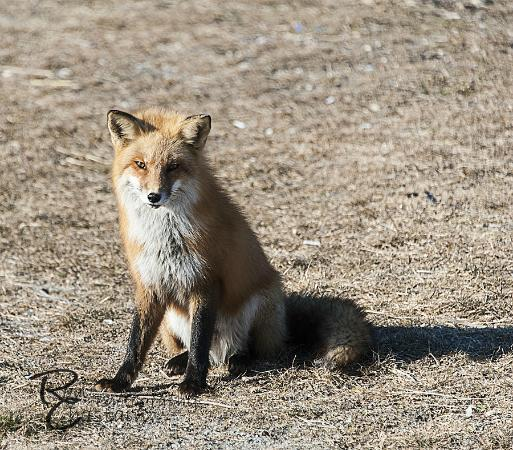 Smith Point County Park: red fox