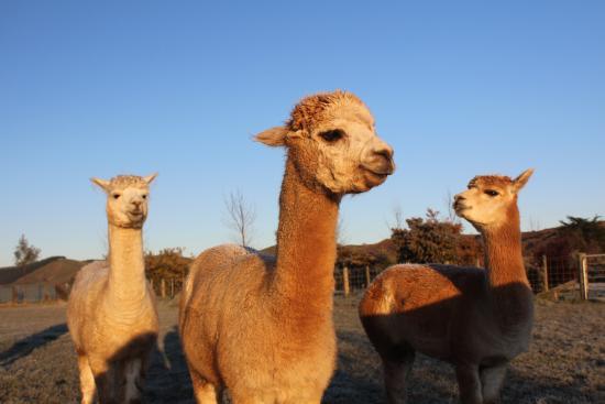 The Summit Lodge: alpacas