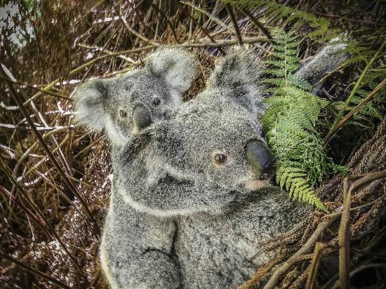 Abelia House: Koala with cub