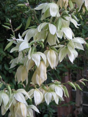 Maggie's Garden Bed & Breakfast : Yuccas in Bloom
