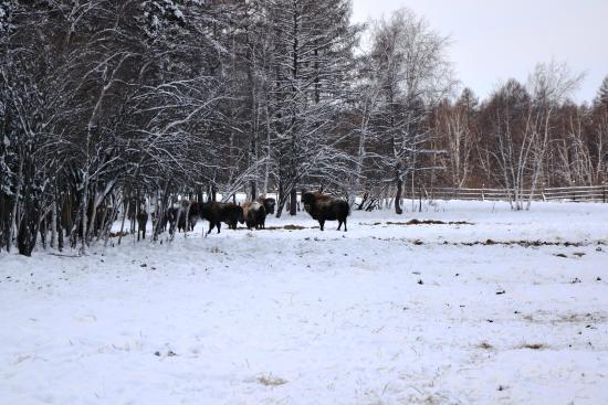 Sakha (Yakutia) Republic, Russland: Бизоны