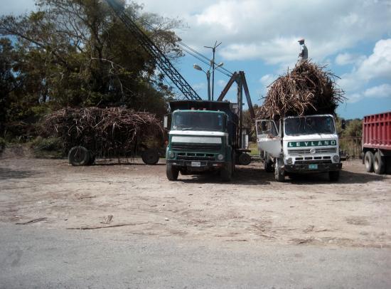 Blue Mountain Experience: Harvesting Sugar Cane