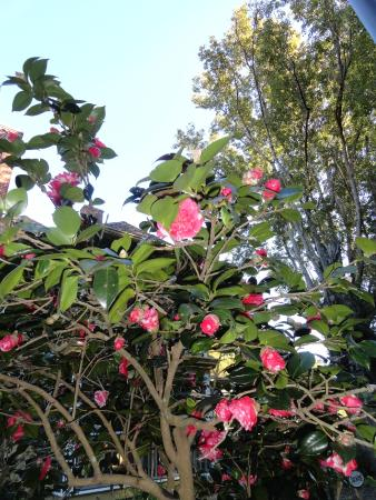 Thurston House Bed and Breakfast: camellia bush