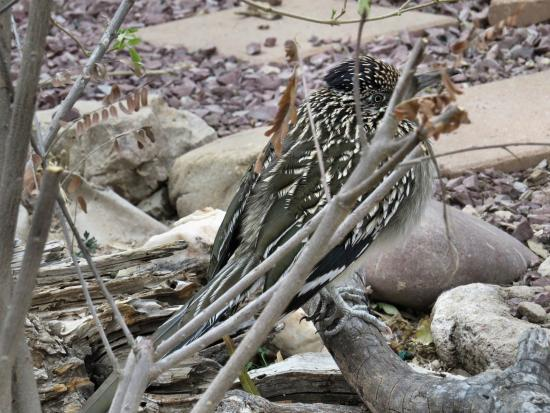 Battiste's Bed, Breakfast & Birds: Roadrunner came to the water, but was shy.