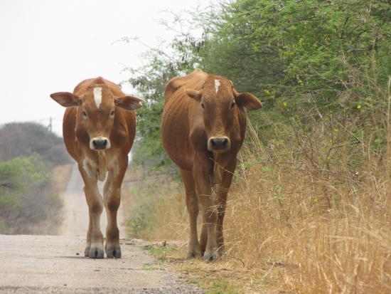 Mokolodi Backpackers: Cows outside grounds