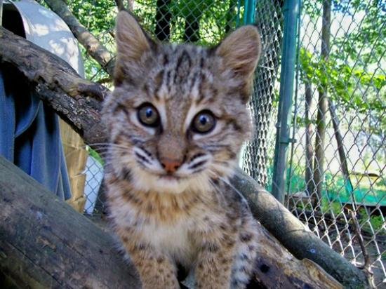 DEW Haven: Bobcat Kitten