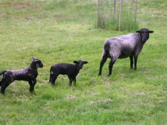 Laughing Moon Farm: Spring lambs with mother