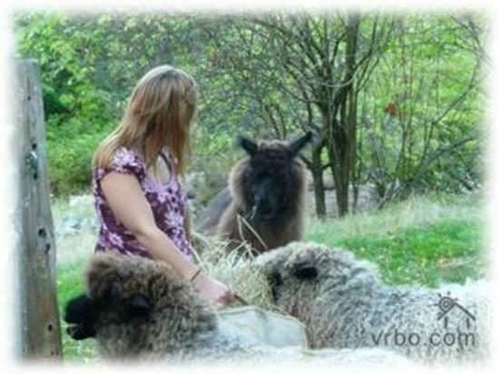 Laughing Moon Farm: feeding our sheep and lama
