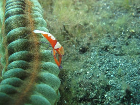 Lembeh Strait: critters
