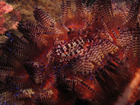 Lembeh Strait : critters