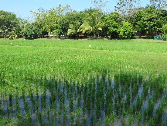 Rice Museum: Reisfelder