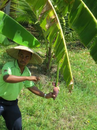 Rice Museum: Bananenpflanze