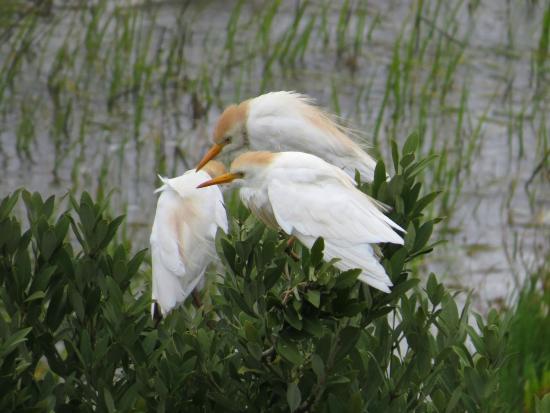 Seahorse Landing: Egrets