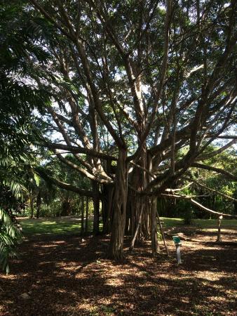 Deerfield Beach Arboretum: Giant Tree