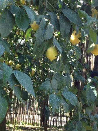 Loving Italy: Lemon trees at Farm outside of Sorrento--Best meal ever!