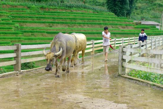 Ta Phin Village: Water-buffaloes on the aqueduct bridge
