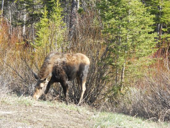 West Yellowstone B & B: Neighborhood Moose
