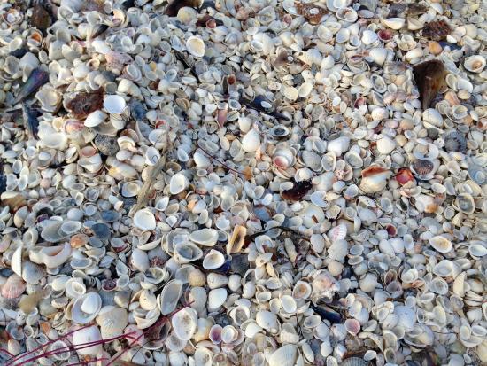Gulfside City Park Beach: shells