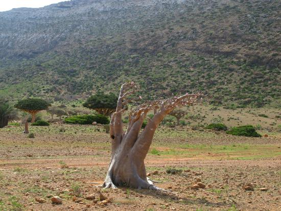 Socotra Island: One of the crazy cute bottle trees - no leaves just pink flowers.