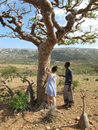 Hadiboh, Υεμένη: Adnan showing us the Frankinsense tree and explaining how the resin is made in to perfume
