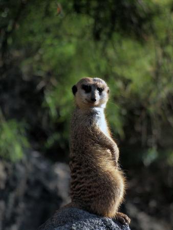 Houston Zoo : meerkat sunning