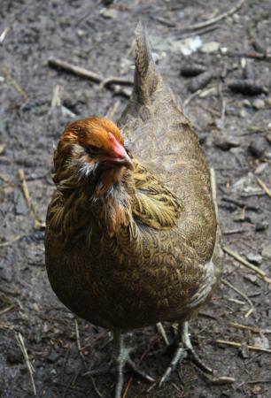 Salt Spring Island Cheese Company: Chicken
