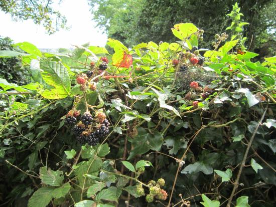Railway Lodge Country House: Pick blackberries on the laneway to the Lodge
