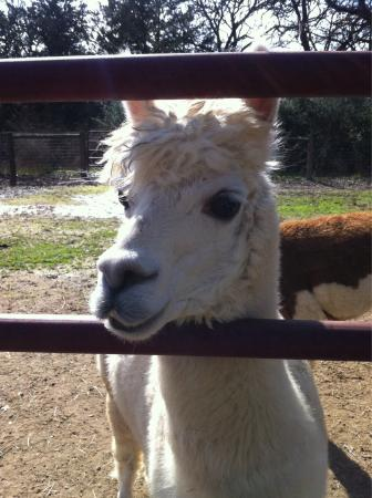 Royal Oaks Alpacas