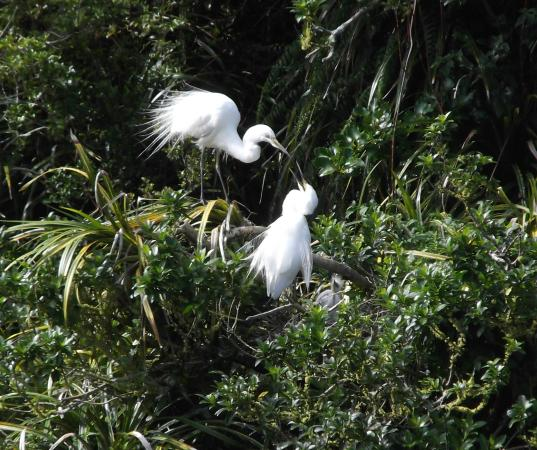 White Heron Sanctuary Tours: A mother struggling to feed two full grown chicks
