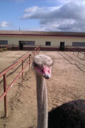 Ostrich Farm Russian Ostrich