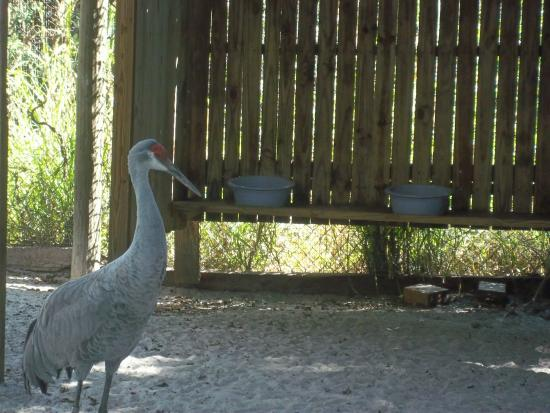 Save Our Seabirds : Sand Hill Crane