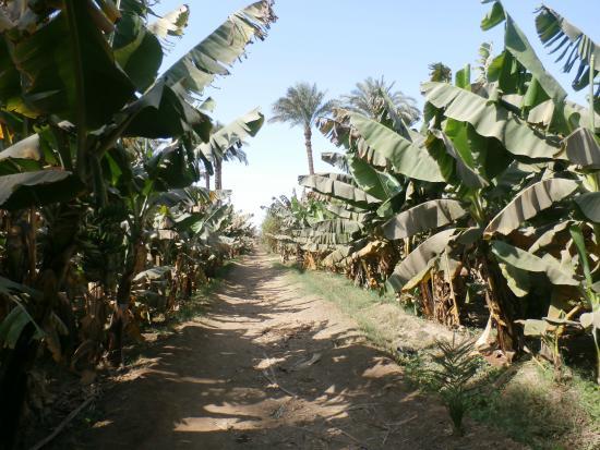 Aladdin - near banana plantation
