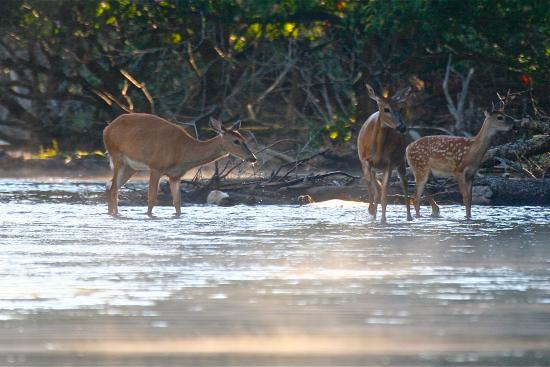 Grayling, MI: Deer family in the AuSable River