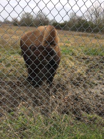 Bison at ABNC - Picture of Armand Bayou Nature Center