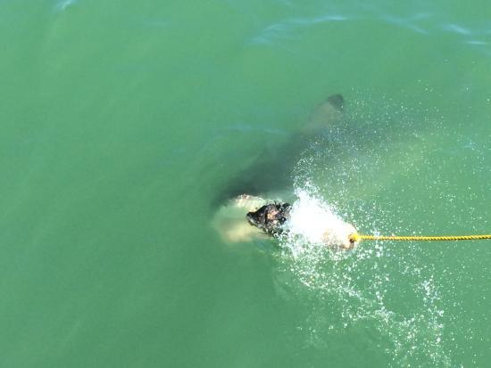 Shark Cage Diving South Africa: Mr. Shark