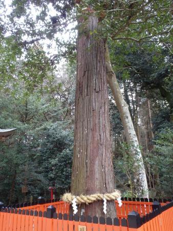Sagimori Jinja Shrine: 区民の誇りの木「スギ」の大木(カメラに納まらない高さがある)