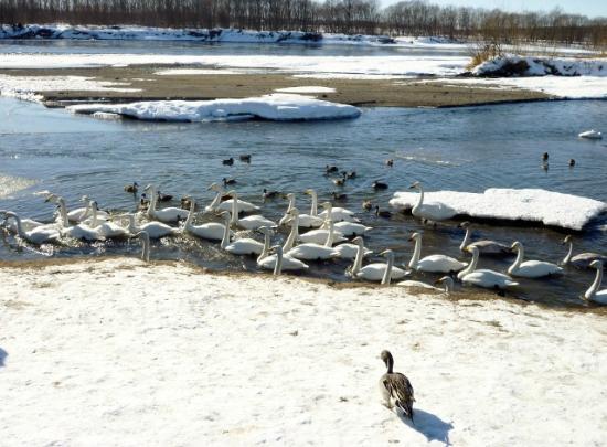 Otofuke-cho, Япония: 人によってくる白鳥たち