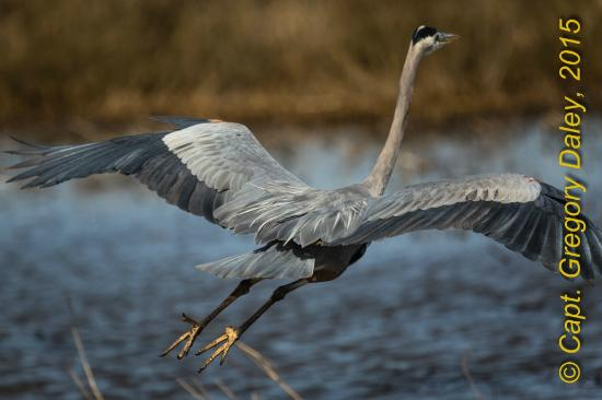Louisiana: Blue Heron Taking Off