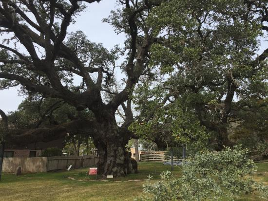‪Largest Live Oak in Texas‬