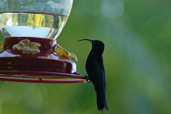 Gite Macanao : Colibris qui boit du sirop