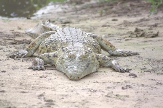 Taonga Safaris - Day Tours : Huge Croc