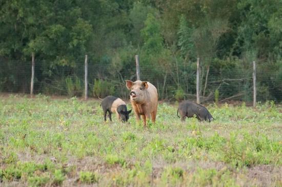 Tenuta del Fontino Family-Farm Hotel: I nostri maialini , nel bosco, allo stato semi-brado