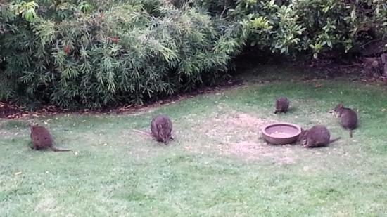 Launceston Bed and Breakfast Retreat: Pademelon in the yard