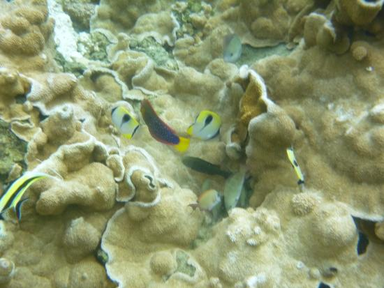 Wai 39 opae tide pools aquarium sized fish picture of for Hawaii tides for fishing