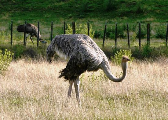 Redwood Lodge: Its an Ostrich!