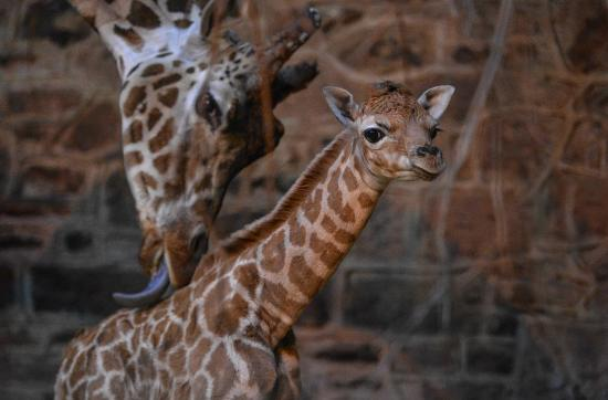 Giraffe calf at Chester Zoo
