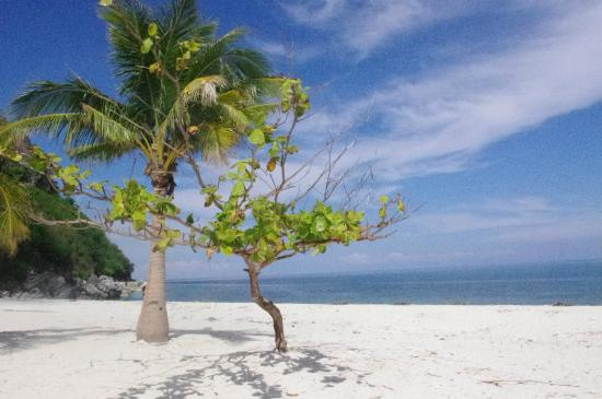 Talisay Tree Growing Well Picture Of